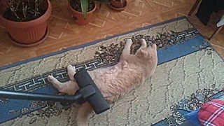 кот который любит пылесос