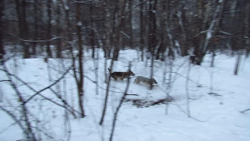 Чехословацкие влчаки, зима