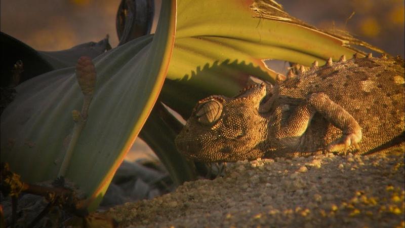Wonderwêreld Namaqua chameleon
