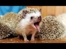 Самые Милые Смешные Ежики! Веселая Подборка! The Most Cute Funny Hedgehogs! Cheerful Selection!