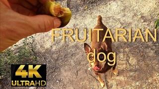 Fruitarian Vegan Dog 4K | Cобака веган фруктоед | Perro vegano frugivoro
