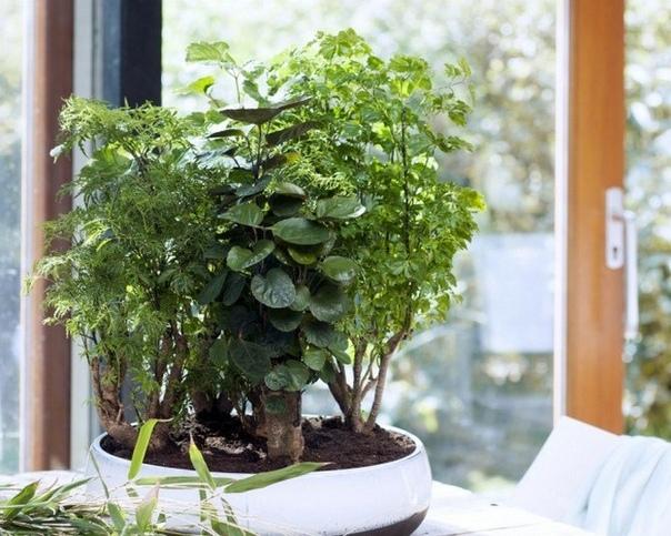 Полисциас Полисциас (Polyscias) относится к растениям из семейства Аралиевых, имеет декоративную красивую зеленую массу листьев. Родиной полисциаса принято считать тенистые и влажные леса в