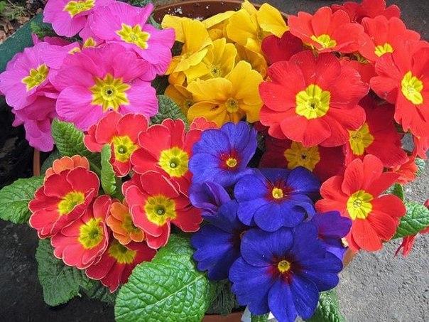 Примула - талисман жизни.  Если присмотреться, эти цветы очень...