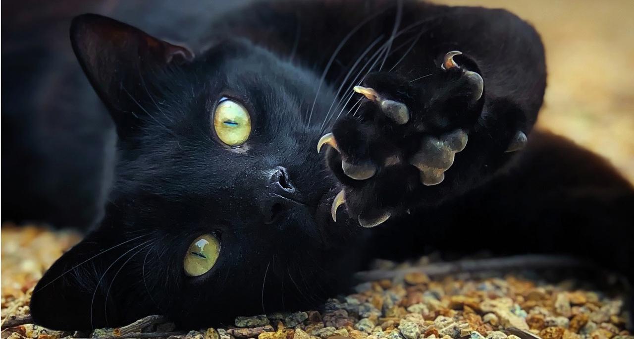 черный мистический кот