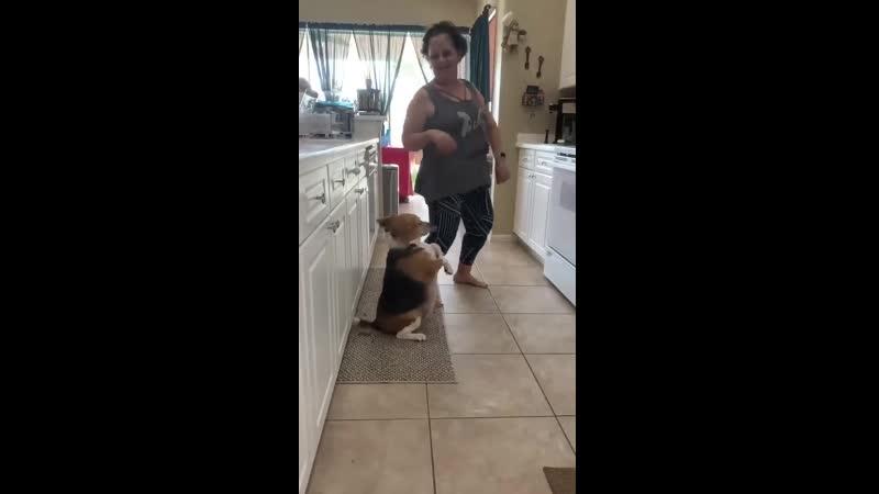 танцующий бигль