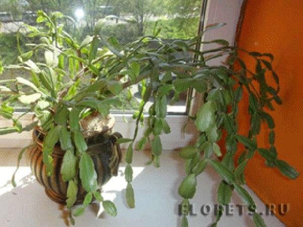 черенки быстро и легко отделяются от кактуса