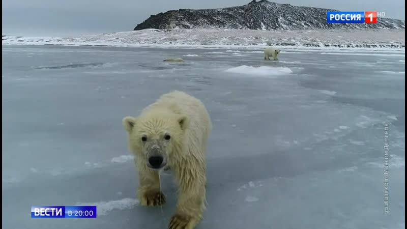 День белого медведя ученые проведут перепись хозяев Арктики