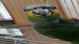 Венесуэльский амазон, попугай по имени Родя🐔