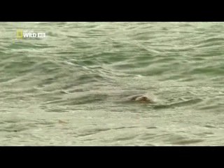 Морской крокодил против острозубых акул