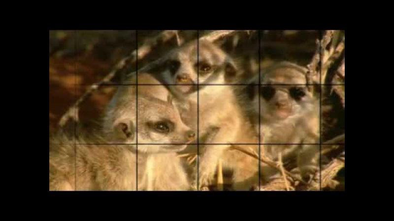 BBC Ребятам о зверятах Сурикаты 1 сезон 3 серия