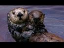 Nature on PBS: сюжет о каланах