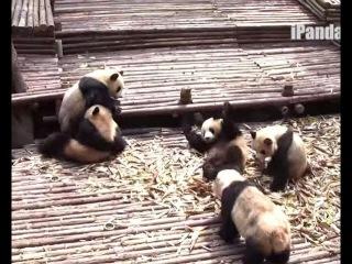 Массовая драка панд-борцух!!