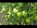 Выращивание ПОМИДОРОВ томатов в открытом грунте в средней полосе