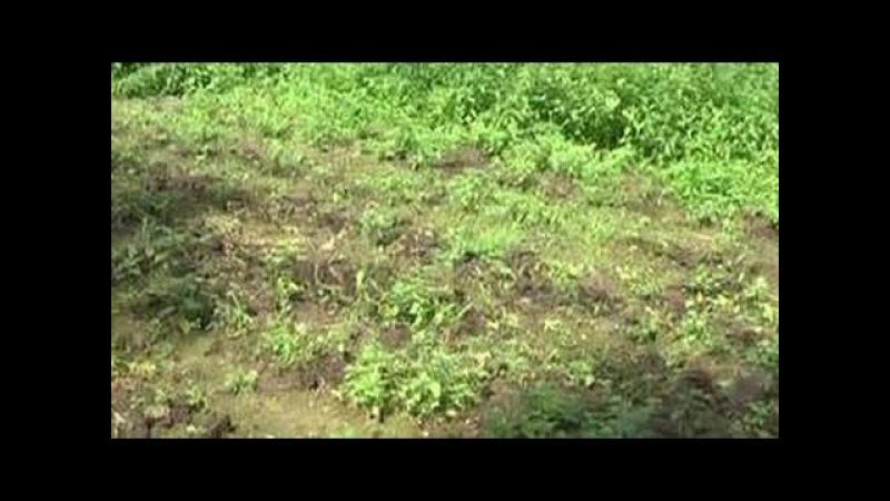 Семью грибников нашедших в лесу плантацию конопли расстреляли