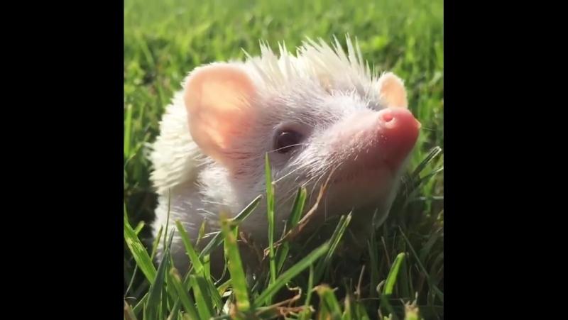 Sigfried the Hedgehog