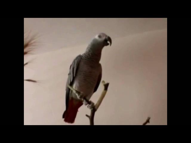 Попугай рассказывает сказку Красная Шапочка. Вот это попугай