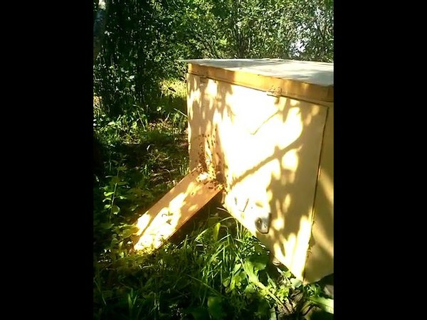 Облёт молодой пчелы после трёх дней дождя 2017