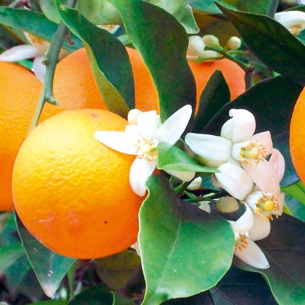 Картинки апельсины и цветы, днем