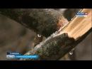 Ставропольчане готовы охранять деревья круглосуточно