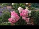 ✿➽ Гортензия метельчатая Ванилла Фрейз в моем саду 2016 часть 1