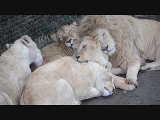 Любимая львица Чипа приревновала его к Герде !