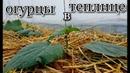 Посадка огурцов в теплицу seedlingsofcucumbers thegarden grenhouse