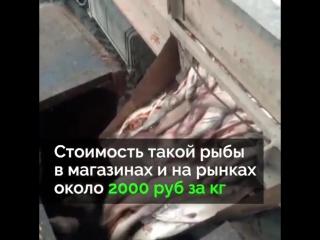 Чтобы не снижать цены на рыбу, тонны свежего лосося просто уничтожают.