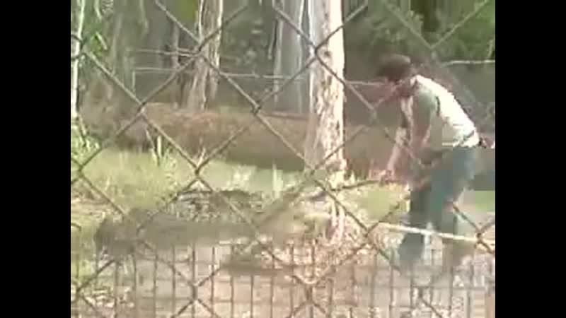Гребнистый крокодил погнался за смотрителем