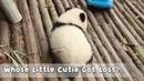 No One Would Refuse To Take A Cute Panda Home | iPanda