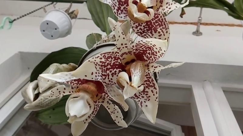 Stanhopea Tigrina цветение