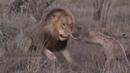 Лев против гиены настоящая боевая ситуация !!