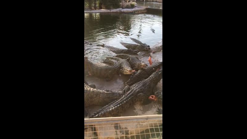 Кормление крокодилов на ферме Explorer DjD