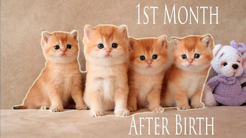 1st Month After Birth Four Golden Kitten British Shorthair Compilation