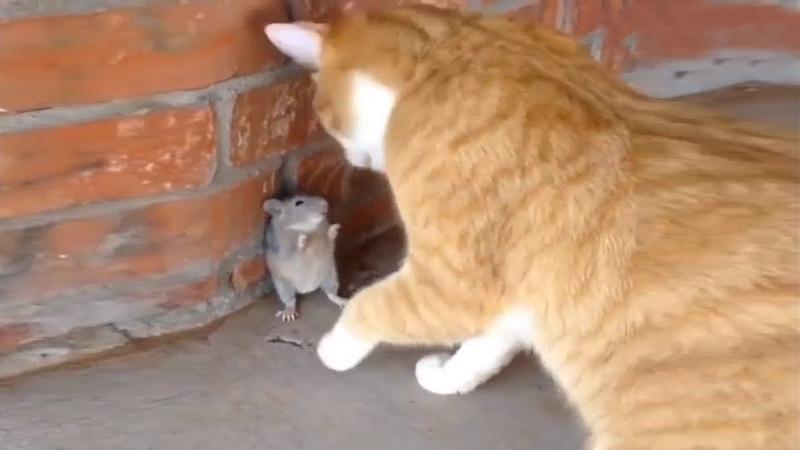 「おもしろ猫とネズミ」死んだふりにして猫を騙したネズミが超賢い 🐱🐹 リアルのトムとジェリー