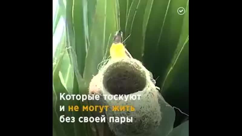 Эти птички не разлучны до самой смерти Люди учитесь по настоящему любить