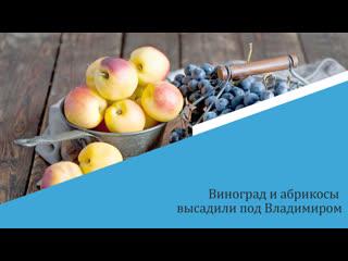 Виноград и абрикосы высадили под Владимиром