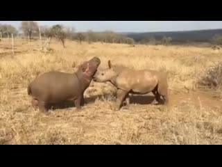 Baby-hippo-and-rhino-becoming-best-friends.mp4