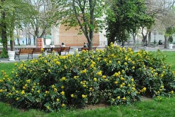 С чем едят магонию Изысканная уроженка Северной Америки магония падуболистная (Mahonia aquifolium) была завезена в Европу в 19 веке и сразу же получила вполне заслуженную популярность. За что