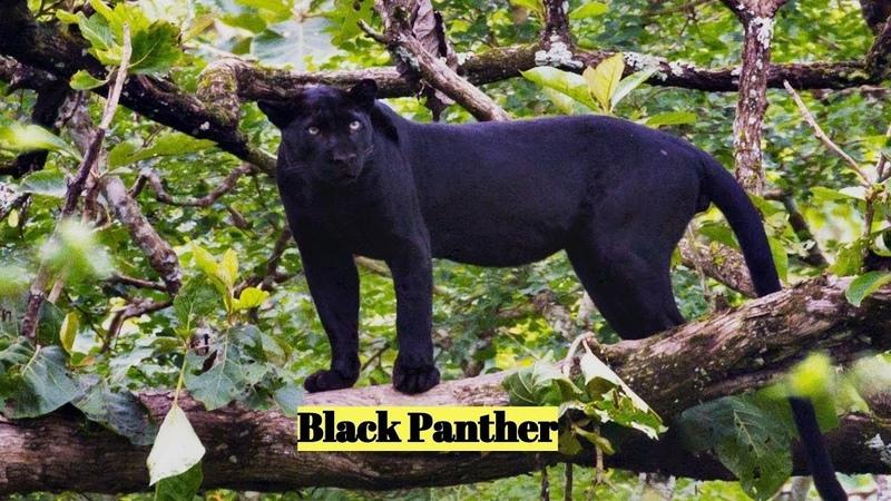 Black Panther (P. pardus P. onca)