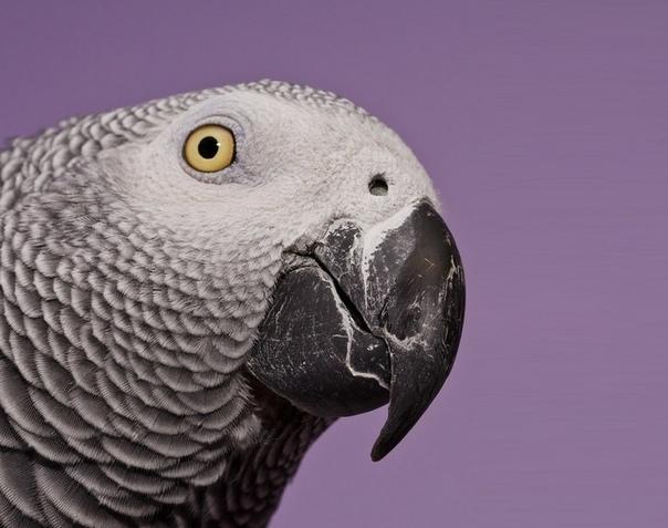 Нелегка попугаячья жизнь В качестве предисловия. Старая история, своими словами: Попугаев Жако было запрещено ввозить в Советский Союз, однако из Анголы их везли практически все, минуя таможню