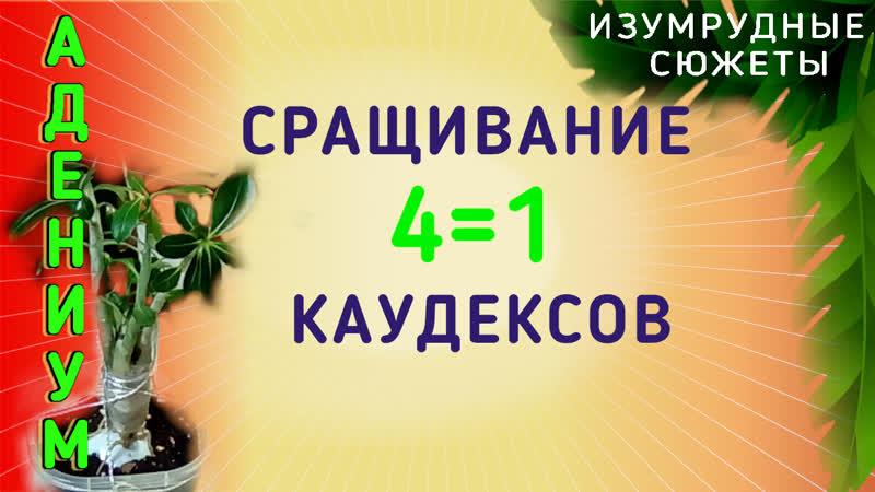 Адениумы Как сформировать красивый каудекс 4=1