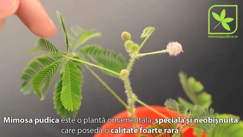 Mimosa pudica Planta miscatoare