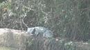 Гоа, Индия Крокодил лежит у дороги