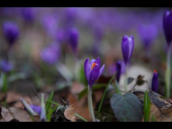 Цвітіння шафранів у дендропарку Березинка під Мукачевом