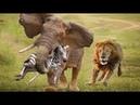 Thế giới động vật thật khắc nghiệt sơ xảy một tí mất mạng như chơi - Voi hộ mệnh sư tử sợ mất hồn