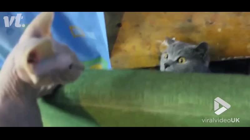 котейка шокирован,впервые видит сфинкса