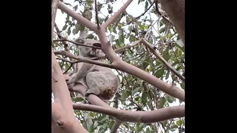 Возвращение коалы Animal Planet