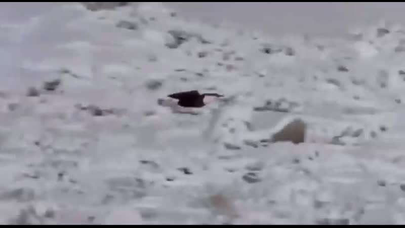 Украл добычу у койота