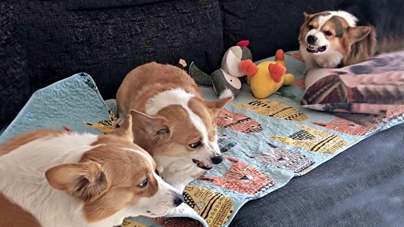 Sibling Rivalry Of Chubby Corgi Bois REVISITED
