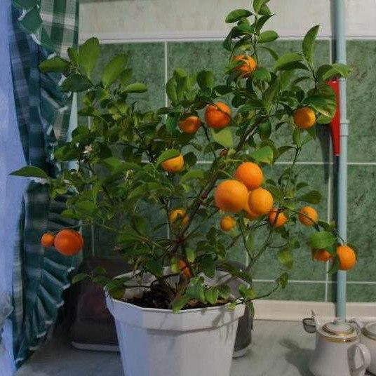 Как вырастить мандарин в домашних условиях Мандарин это многолетнее вечнозеленое растение и одно из моих самых первых комнатных растений. Ему уже около семи лет, а вырос он из косточки, которую